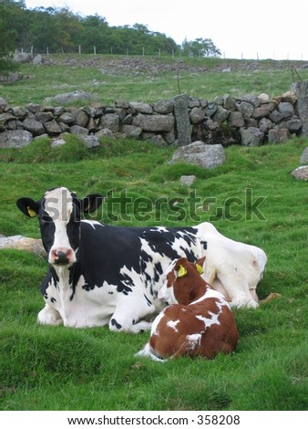 A cow and her calf - stock photo