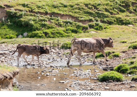 A cow and her calf crossing a river, Pyrenees (Spain)