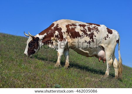A cow grazes in a pasture