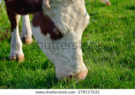 A cow grazes on a young green grass - stock photo