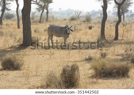 A Cow in a field in Rajasthan, India - stock photo