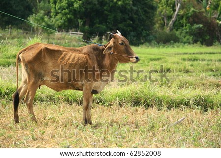 a cow in a harvested rice field - stock photo