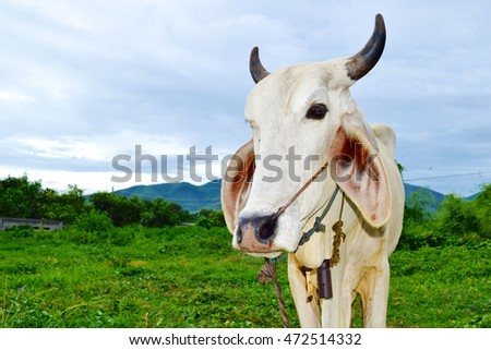 A cow in located in the countryside of Lamphun / Chiang Mai, Thailand.