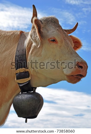 A cow in the swiss alps - stock photo
