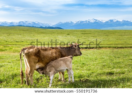 a cow is feeding its little cow on green grassland