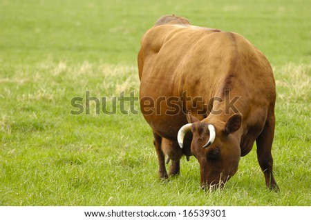 A cow is standing on a field eating grass