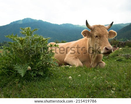 A cow lies on a grass next to the prickly bush on a background of mountains and sky - stock photo