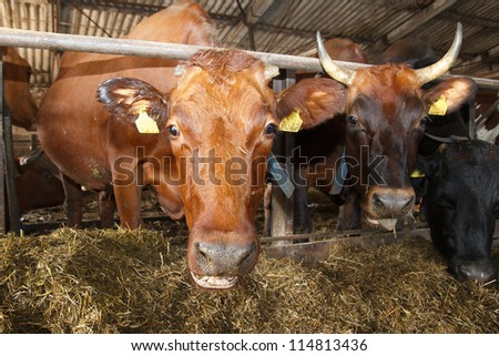 A cow looking into the camera - stock photo