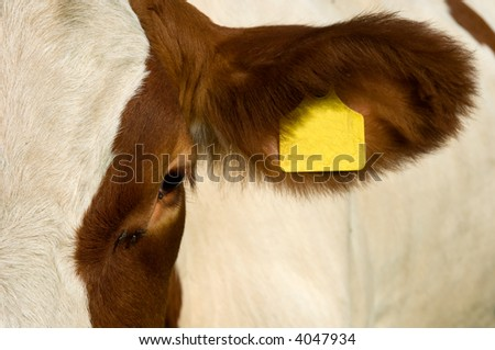 A cow's eye and ear with ear tag and flies - stock photo