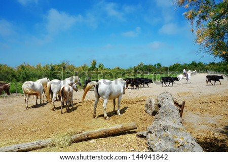 A cowboy with white horses and black bulls in The Camargue national park, Provence, France - stock photo