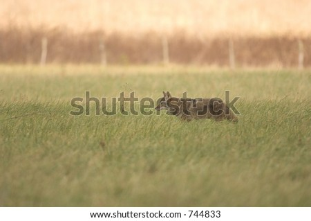 A coyote in an open field