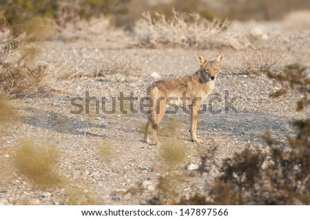 A coyote in the desert. - stock photo