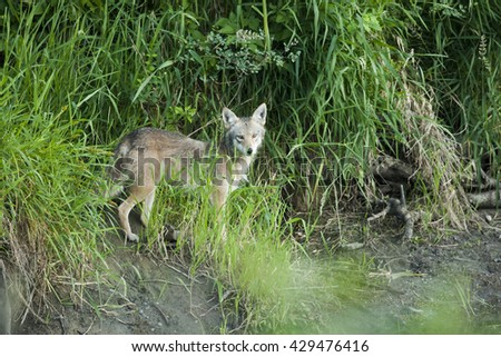 A coyote in the grass - stock photo