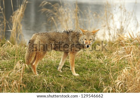 A coyoty is looking - stock photo