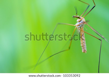 A Cranefly (or daddy-longlegs) warming its feathers in the morning sun