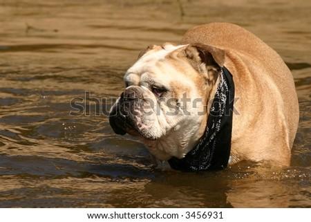 A cream bulldog with a black scarf taking a dive. - stock photo