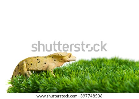 A crested gecko standing on a patch of grass, isolated on a white background