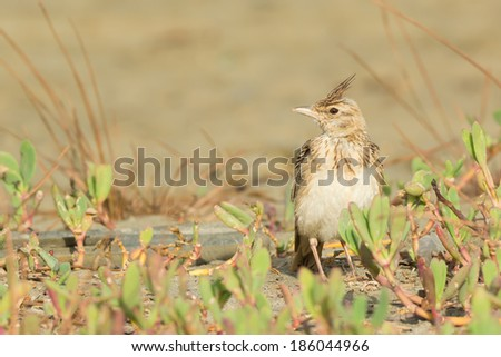 A Crested Lark (Galerida cristata) on the beach with its crest raised - stock photo