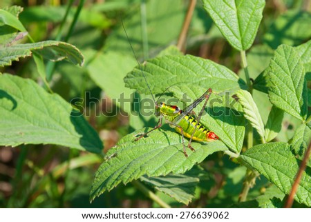 A cricket on a leaf - stock photo