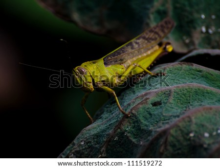 a cricket sitting on a green leaf - stock photo
