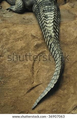 A crocodile crawling along the river side. - stock photo