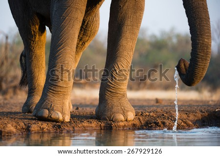 A cropped, horizontal photo of the legs, feet, toes and trunk of an elephant bull drinking at a waterhole in the Tuli block, Botswana. - stock photo