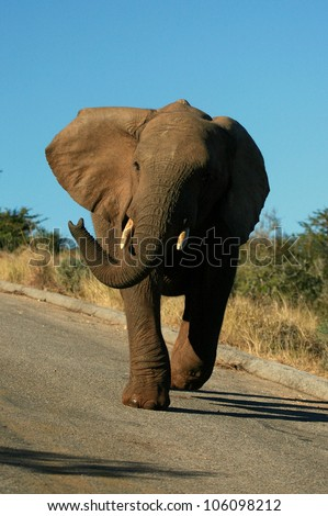 A cross young elephant bull charges while trumpeting and flapping his ears. taken in Addo elephant national park,eastern cape,south africa - stock photo