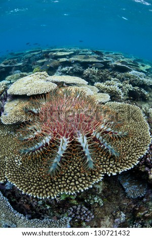 A Crown-of-thorns seastar (Acanthaster planci) feeds on live table coral polyps on a shallow reef near Fiji.  When population numbers are high these echinoderms can destroy reefs. - stock photo