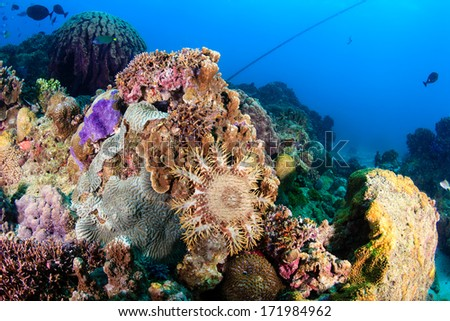 A Crown of Thorns Starfish feeding on living coral.  Outbreaks of Crown of Thorns can devastate a coral reef. - stock photo