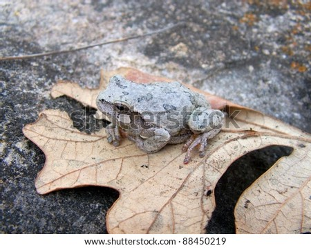A cryptic frog, the Eastern Gray Treefrog, Hyla versicolor, on oak leaves and limestone rock - stock photo