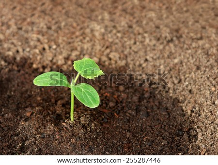 A cucumber seedling in the ground, closeup