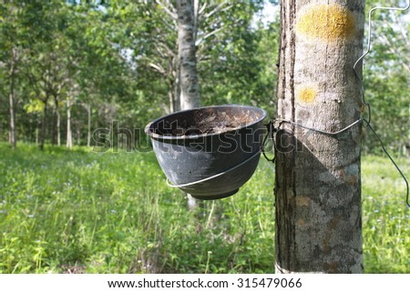 a cup of water rubber , rubber tree on rubber tree blur background - stock photo