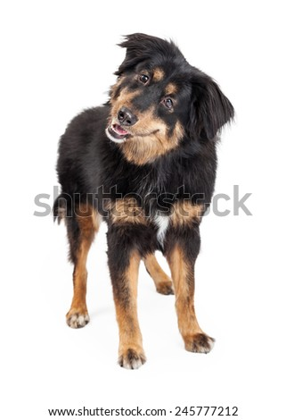 A curious and attentive English Shepherd Mixed Breed Dog standing. - stock photo