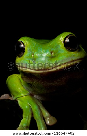 A curious Australian green tree frog look over a ledge on black. - stock photo