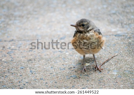 A curious baby Robin strayed away from it's Mother to explore the sidewalk. - stock photo