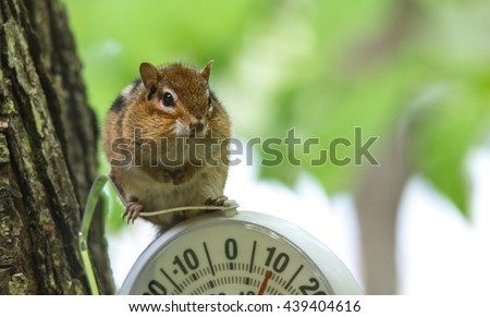 A curious chipmunk sits up on top of dial indicator in cool shade.  Small squirrel paused on an outdoor thermometer. - stock photo