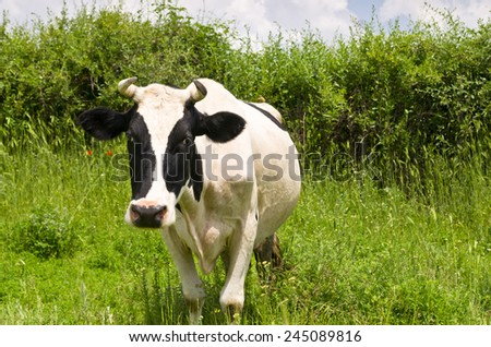 A curious dairy cow standing and grazing in her pasture - stock photo