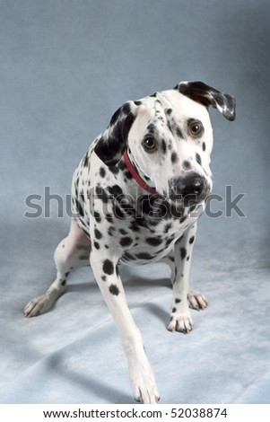 A curious Dalmation wearing a red collar moves toward the camera to make a very cute portrait. - stock photo