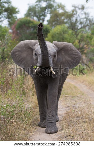 A curious elephant walking towards the camera, trunk lifted - stock photo