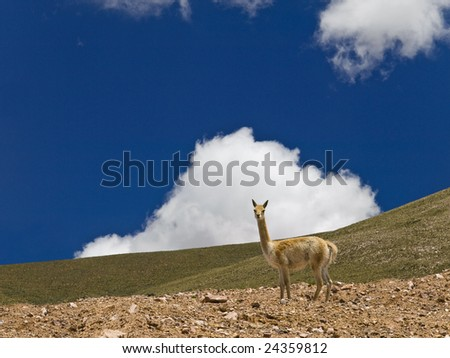 A curious lama in a dry landscape. - stock photo
