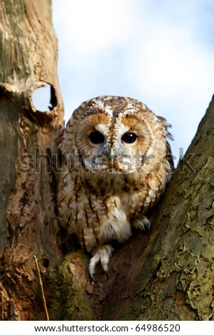 A curious tawny owl in an oak tree - stock photo