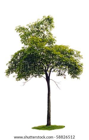 A cut out of a rain tree sapling. - stock photo