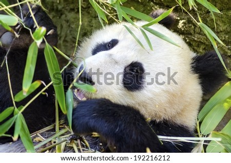 A cute adorable lazy baby giant Panda bear eating bamboo. The Ailuropoda melanoleuca is distinct by the large black patches around its eyes, over the ears, and across its round body. - stock photo