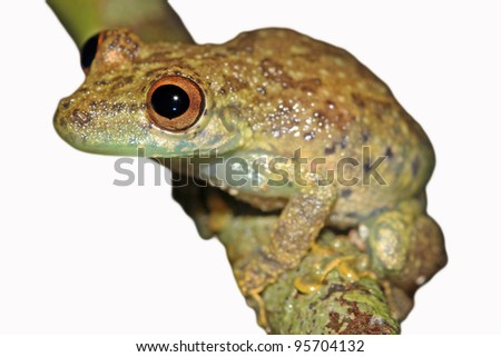 A cute Amazon Snouted Frog (Scinax ictericus) in the Peruvian Amazon Isolated on white with space for text - stock photo