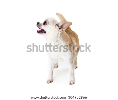 A cute and happy Chihuahua breed dog with a white coat standing and looking up and to the side