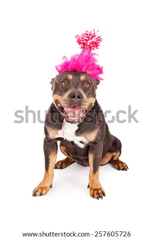 A cute and happy tri-color Pit Bull dog wearing a pink birthday party hat with a big smile on her face - stock photo