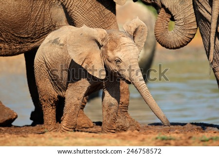 A cute baby African elephant (Loxodonta africana), Addo Elephant National Park, South Africa  - stock photo