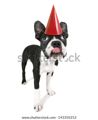 a cute baby boston terrier on a white background with a birthday hat on - stock photo