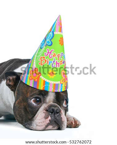 a cute baby boston terrier on a white background with a birthday hat on