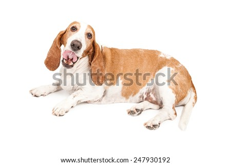 A cute Basset Hound dog laying with his tongue sticking out  - stock photo